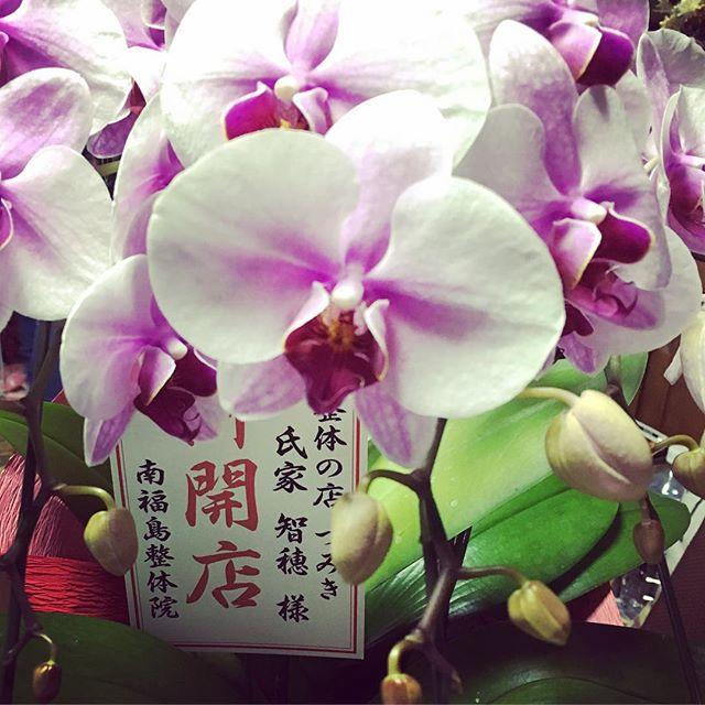 南福島整体院の院長先生から開業お祝いを頂きました。感謝。これからもお世話になります。#健康整体の家つみき #健康整体 #健康 #操体法 #大先輩 #お祝い #南福島整体院 #開業 #お祝い #お花 #胡蝶蘭 #感謝 #お世話になります