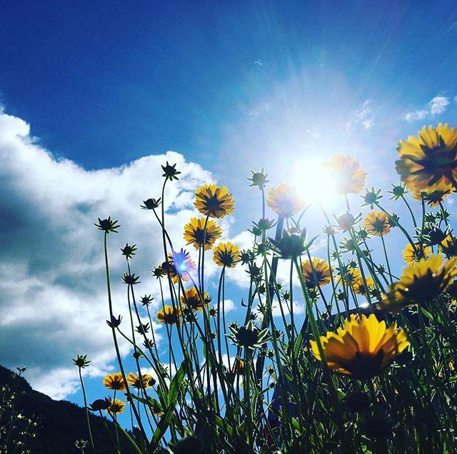 太陽を浴びて元気に咲いている植物だけじゃない!人も太陽を適度に浴びることは大事(^^)落ち込んだ気分がUPする他、免疫力UPなどが期待出来る️たまには空を見上げよう️ #健康整体 #健康整体の家つみき #操体法 #整体 #福島 #福島市整体 #飯坂 #飯坂整体 #健康 #太陽光 #気分up #免疫力up #骨や筋肉の維持 #新陳代謝up #オオキンケイギク