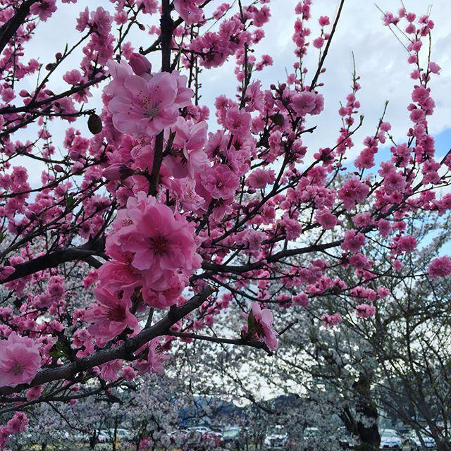 春を全身で感じる!サクラや花桃のピンクのグラデーションを楽しみながら、風のつめたさを味わい春らしい香りをかぐ!!ステキな時間。#季節を感じる #健康 #春