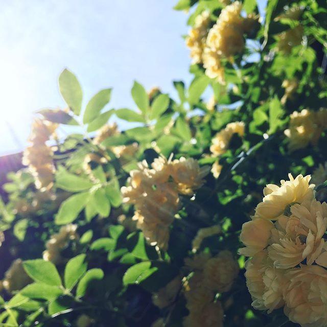 玄関先の木香薔薇!キレイな花をたくさんつけました(^^)