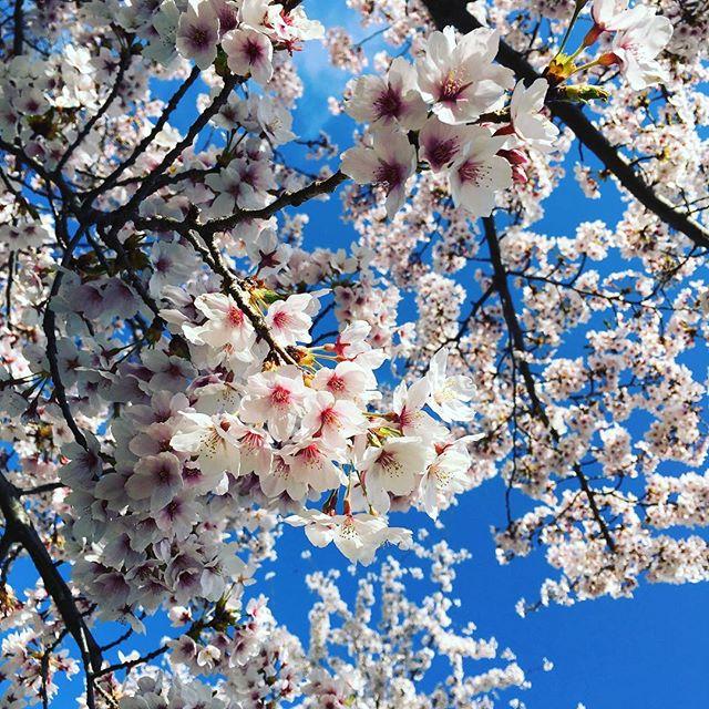 小学生になった姪っ子と今年最後の桜!?太陽の光を浴びながら気持ちよく散歩^_^たまにはいい