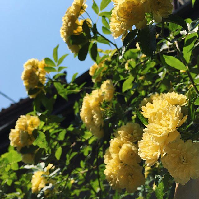 暑い中お越しくださったお客さんからラスクをいただきましたそのお気遣いにとても元気が出ます!感謝。木香薔薇牡丹